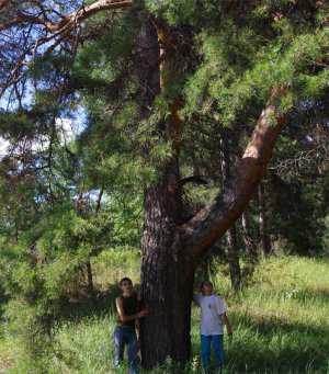 Самая большая сосна на острове — святилище волжских язычников — Кереметь.